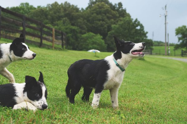 thistle-farms-border-collies (3)