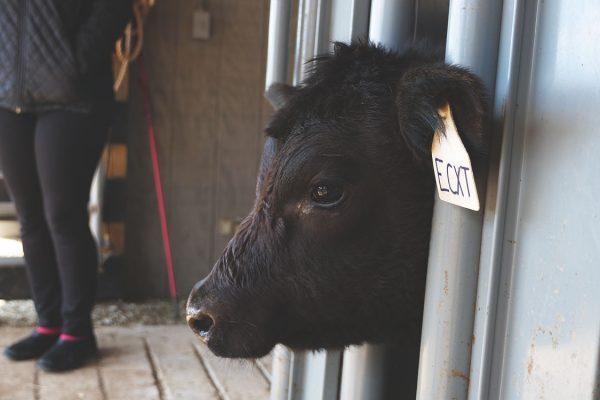 thistle-farms-cows (12)
