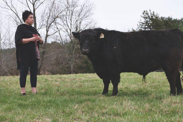 thistle-farms-cows (4)