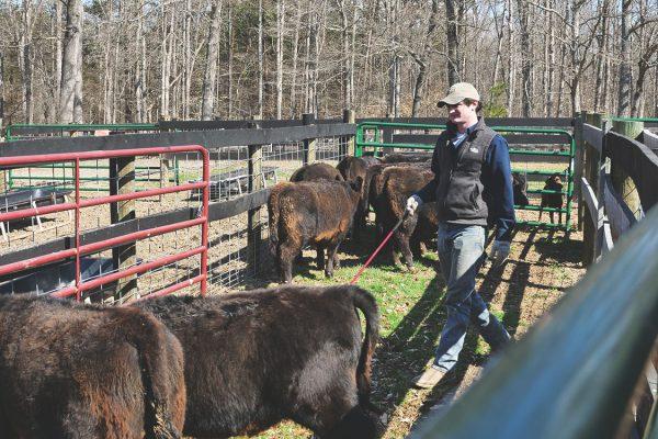 thistle-farms-cows (6)