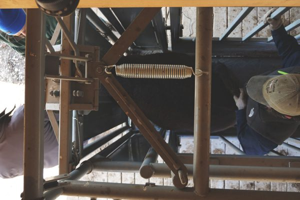 thistle-farms-cows (8)