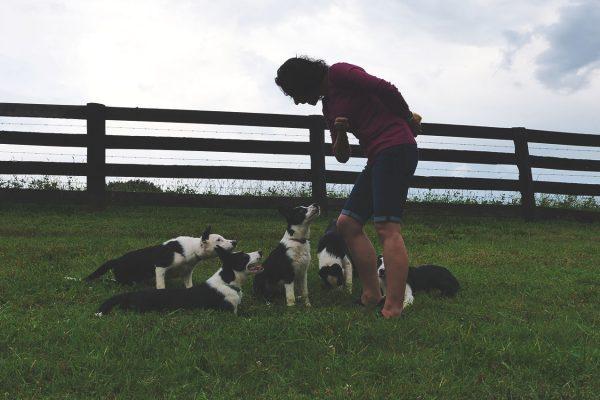 thistle-farms-border-collies (1)