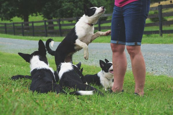 thistle-farms-border-collies (2)
