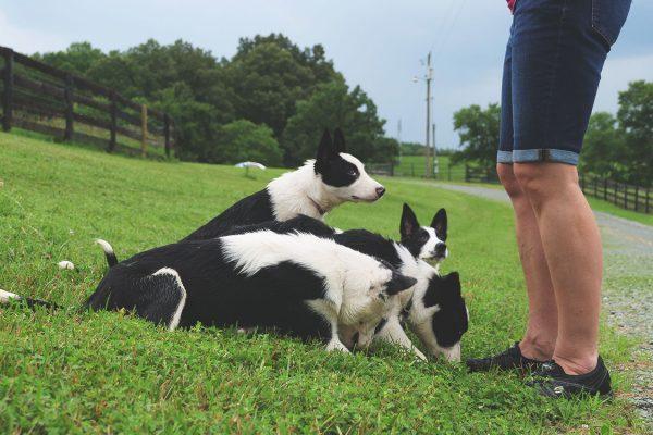 thistle-farms-border-collies (4)
