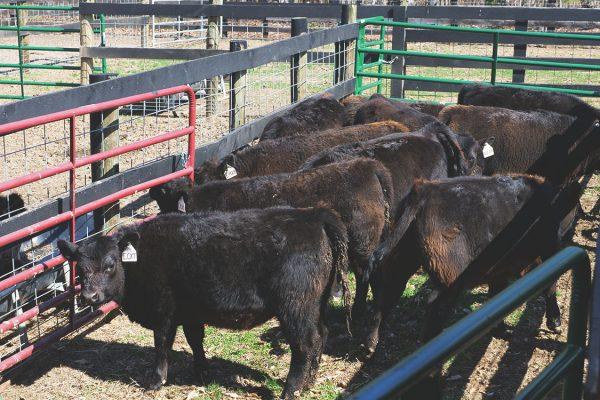 thistle-farms-cows (7)